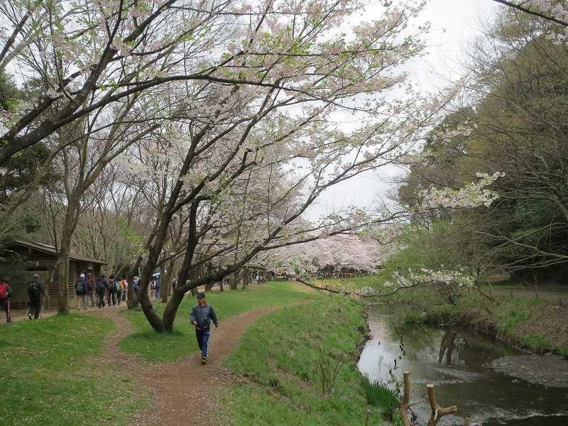 桜も満開 綺麗ですね