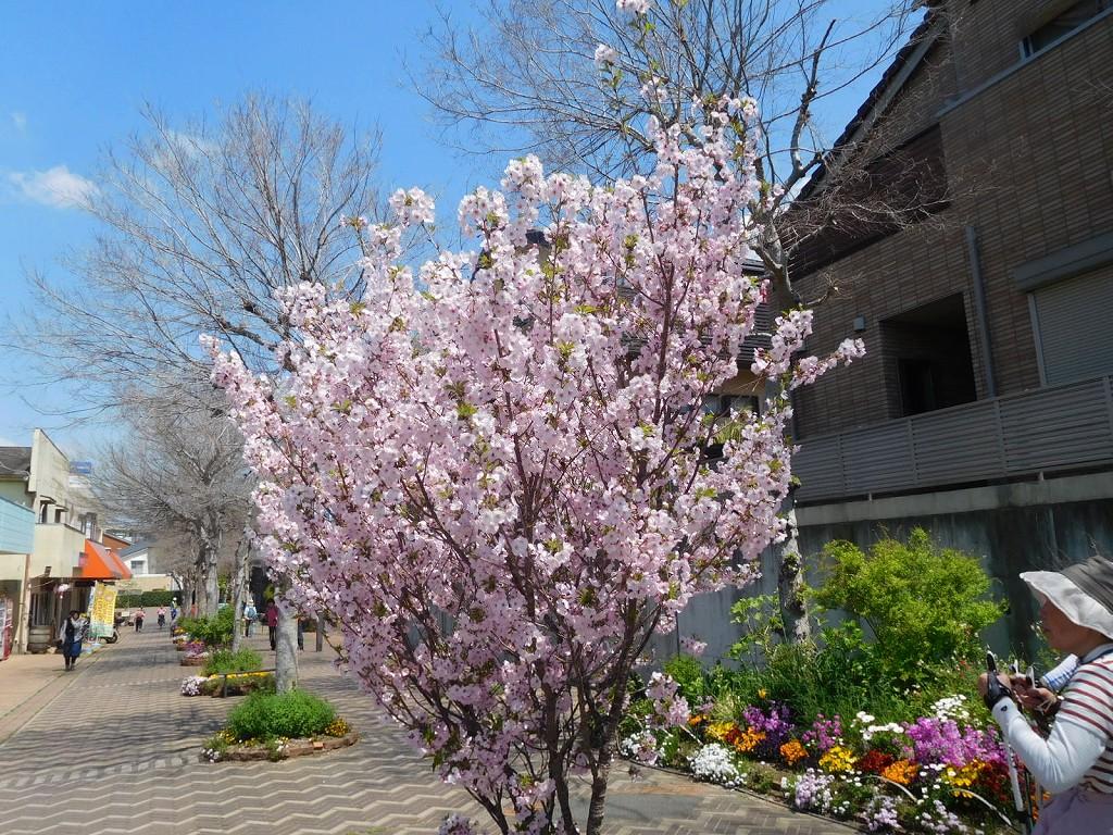 八重桜も咲いてます