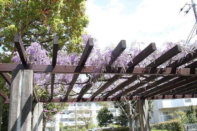 富士の花も咲き始めています