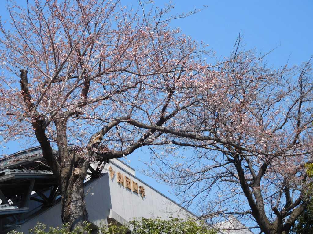 劇団四季の看板下の桜も満開にはまだ早いようですね