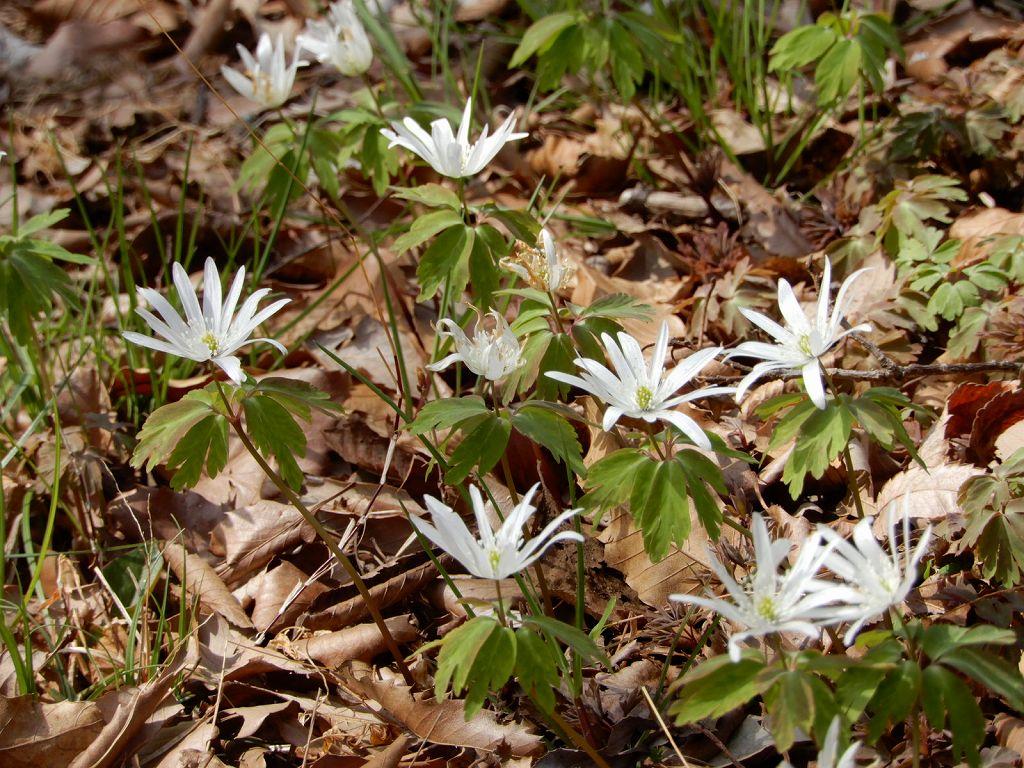 同上 アヅマイチゲ「東一華」他小さな花が種々撮れました