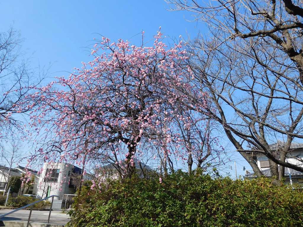 みのり公園の枝垂れ梅は満開!!