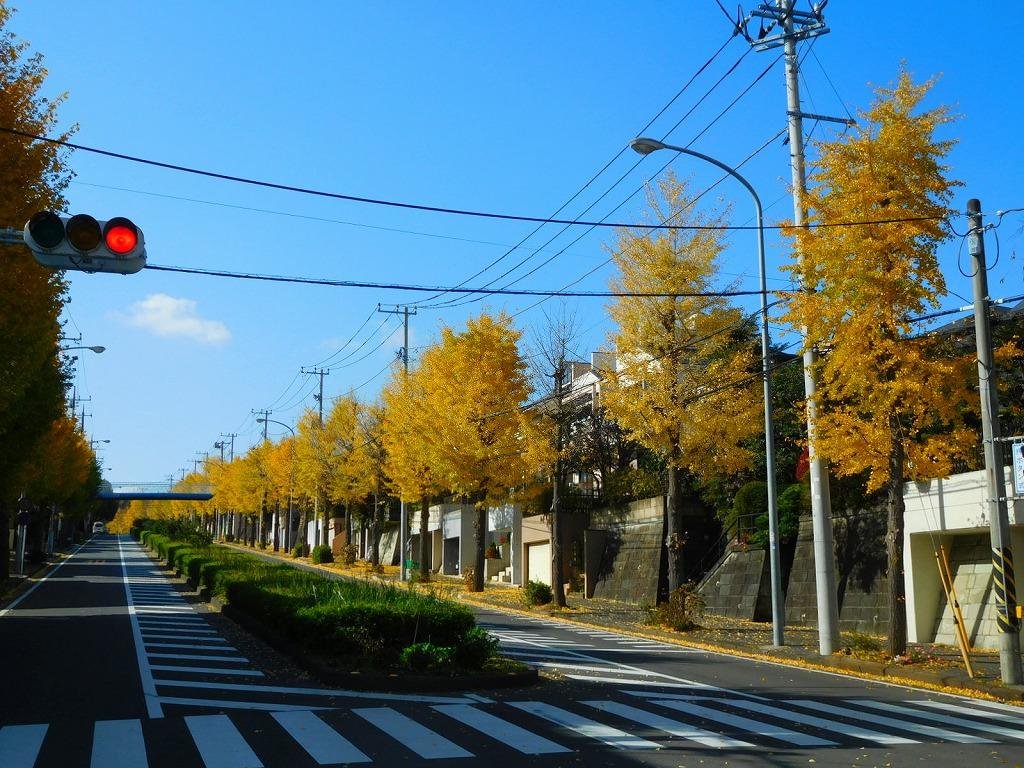 道路両脇の銀杏 青空に映えています