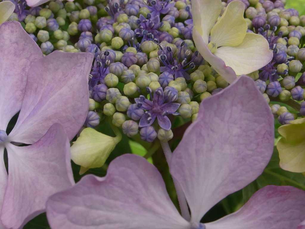 別の紫陽花をアップでパチリ 小さな花が咲いていますね