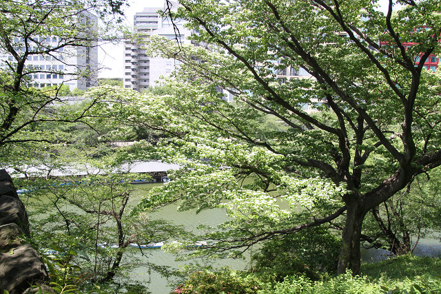 北の丸公園内の大きな樹には白い花?が咲いている