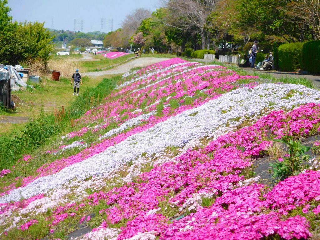 同 芝桜ライン