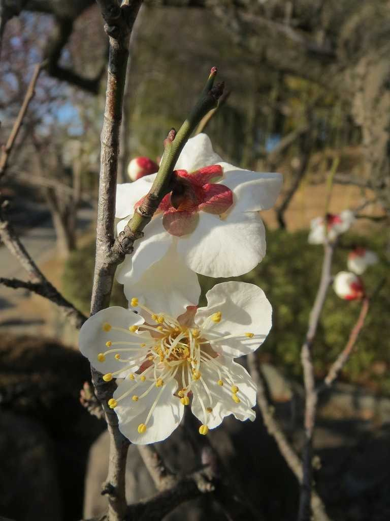 白梅は残念ながら咲き始めの状態です
