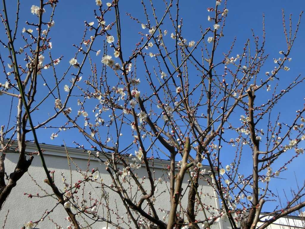 途中の民家では白梅が咲いていた