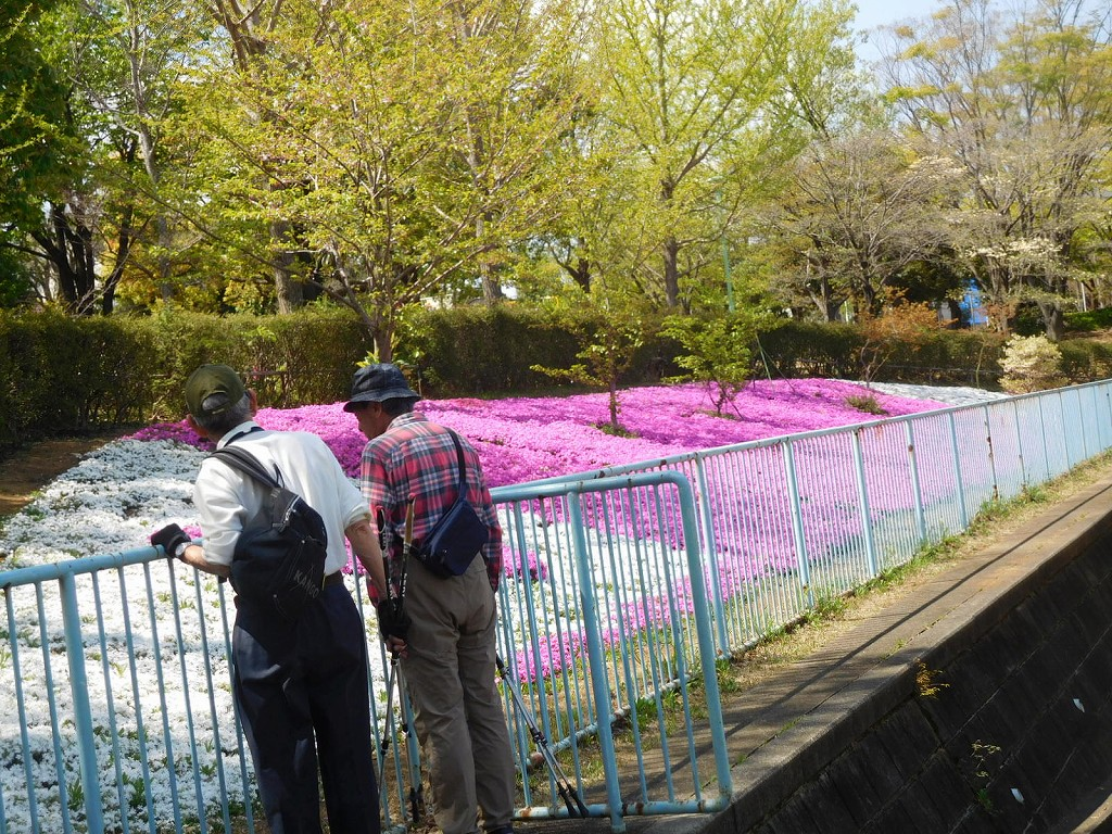 泉田向公園の芝桜が満開 この場所に咲いているとは知りませんでした