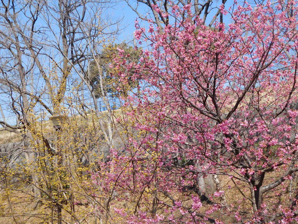 山茱萸と河津桜