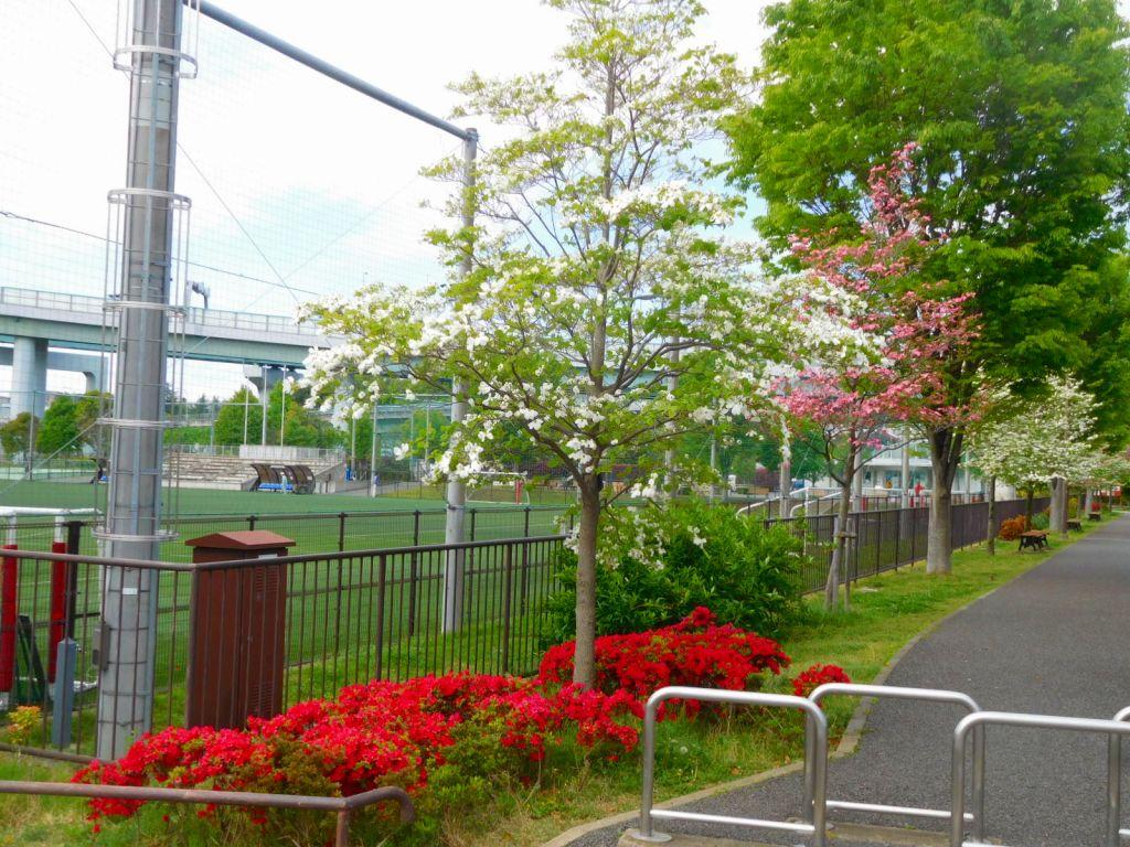 谷本公園の躑躅と赤と白の花水木