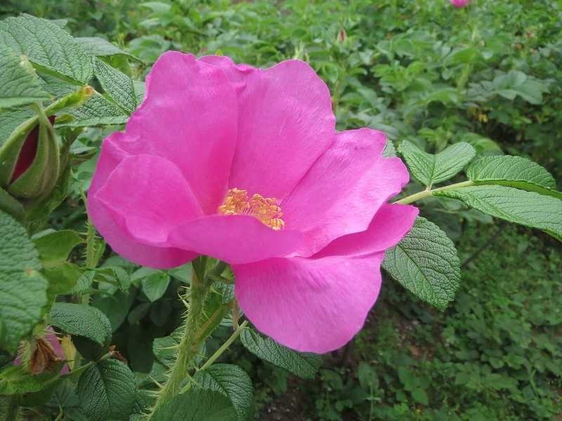隣のカメラマンから教わったがこの花もバラだそうです