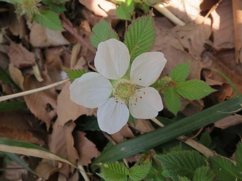 もえぎ野ふれあい公園内の白花の蛇苺