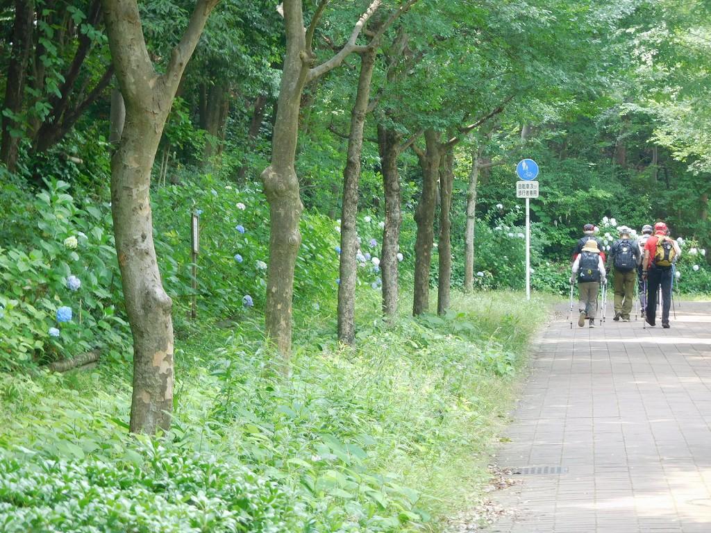 荏田東の緑道を歩く皆さん 紫陽花も綺麗ですね