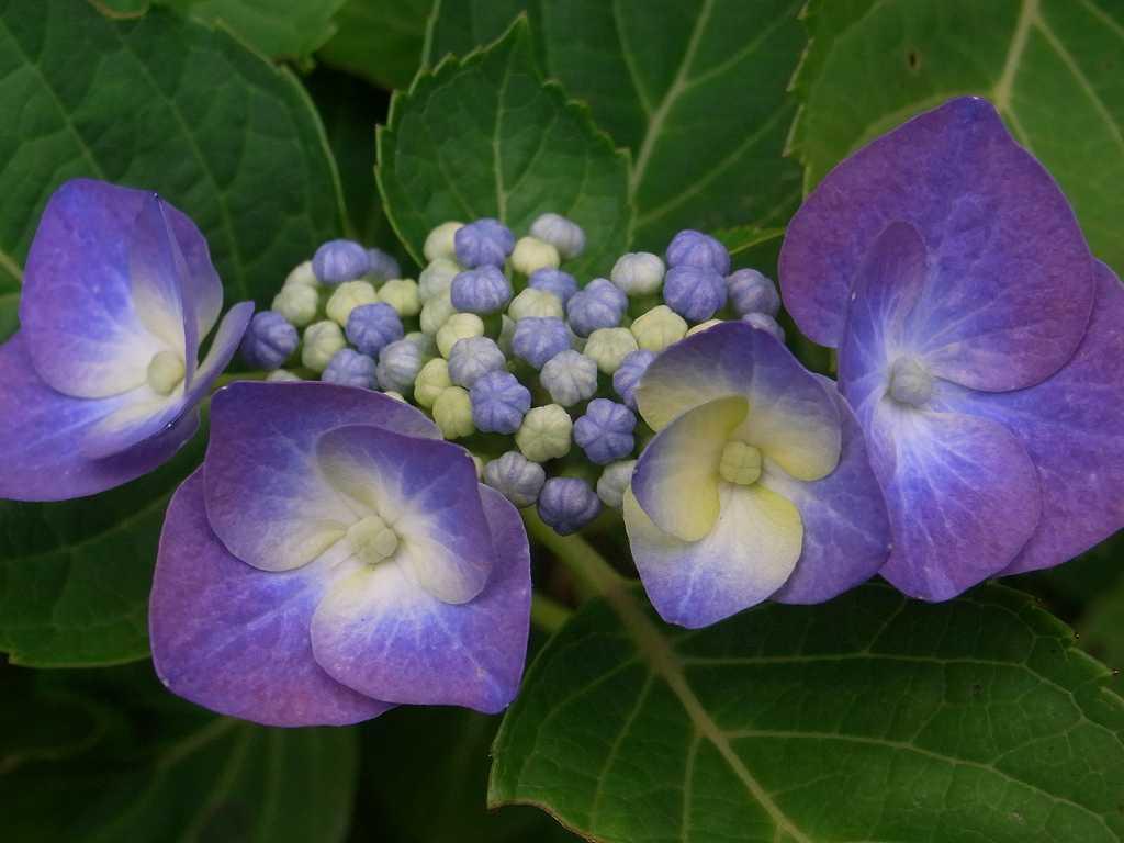 額紫陽花 やや小ぶりです