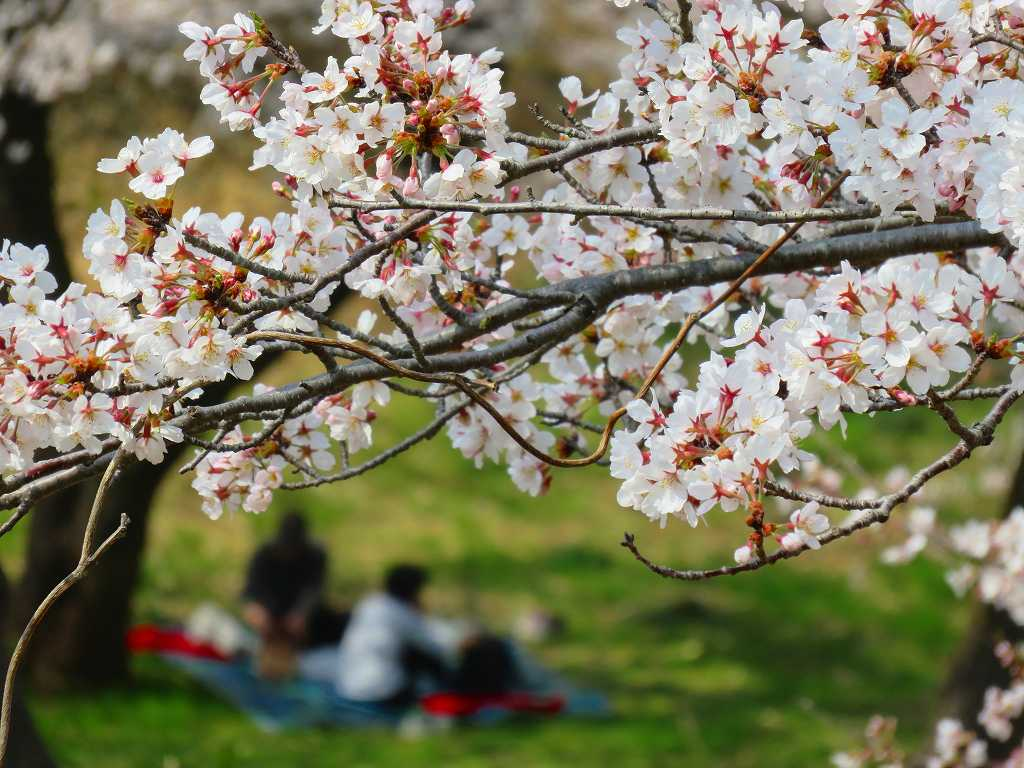 桜の下でランチ