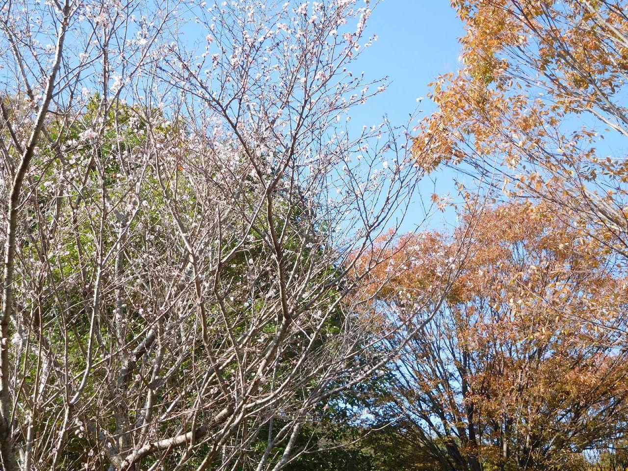 北八朔公園入口の十月桜は未だ咲いてます