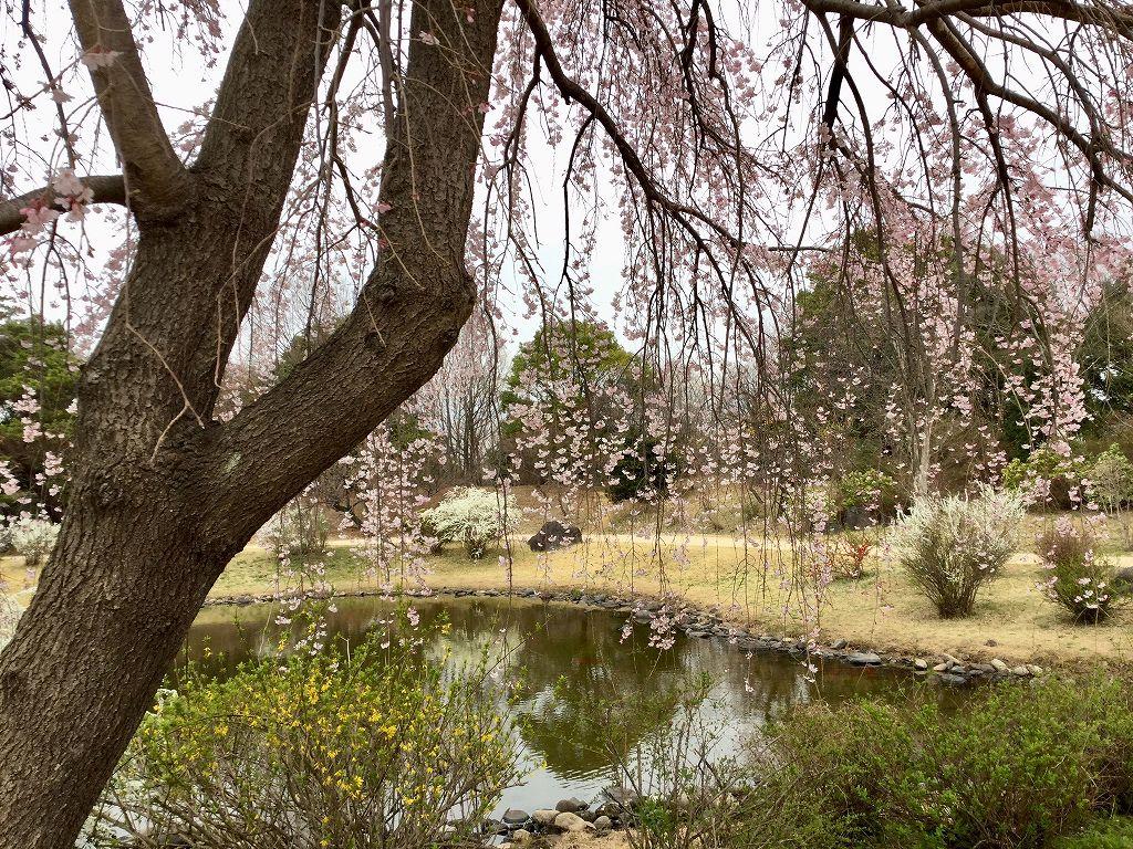 こもれびの池と枝垂れ桜