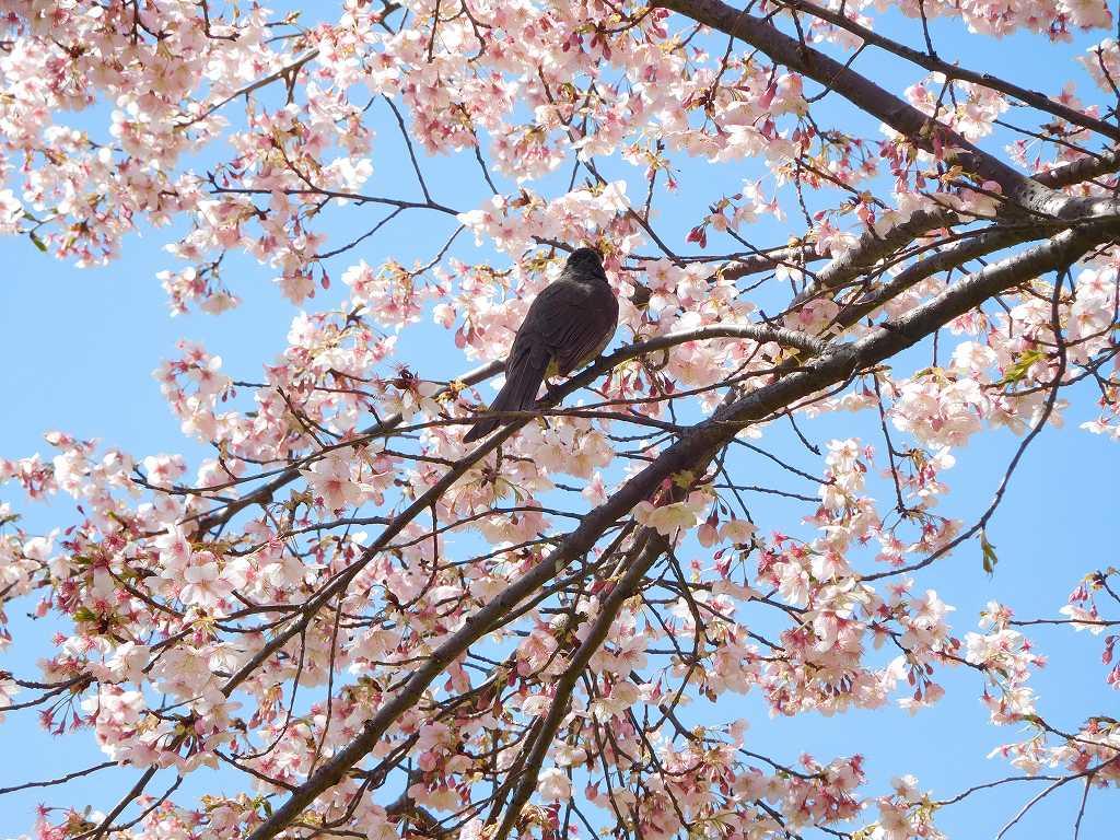 桜の蜜に寄ってきた鵯