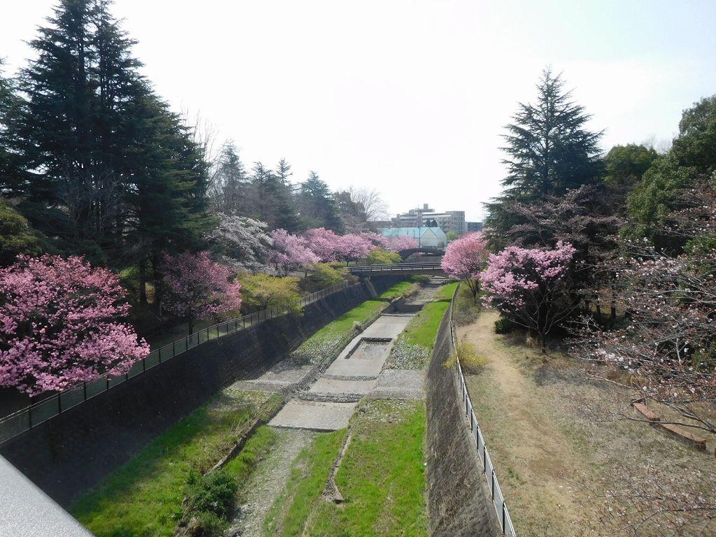 ふれあい橋 左側も綺麗に咲いてますよ