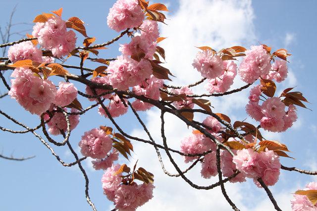 満開の八重桜をアップでパチリ