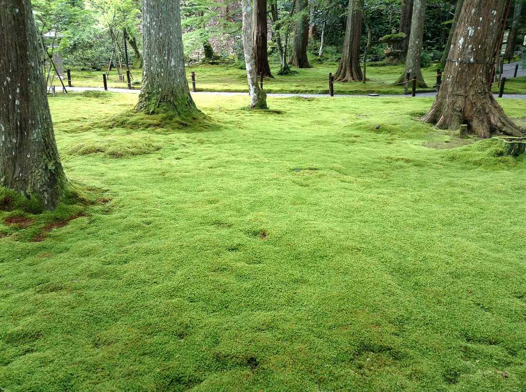 三千院の見事な苔