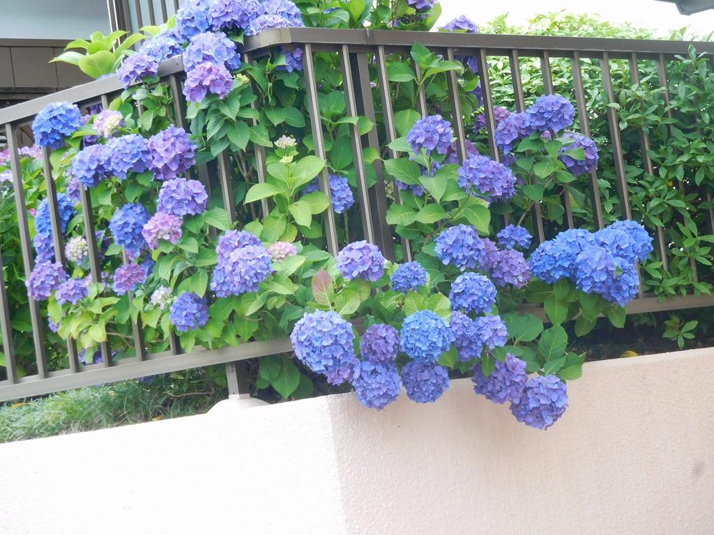 紫陽花が垣根をはみ出して「私を見て!!」と咲いてます