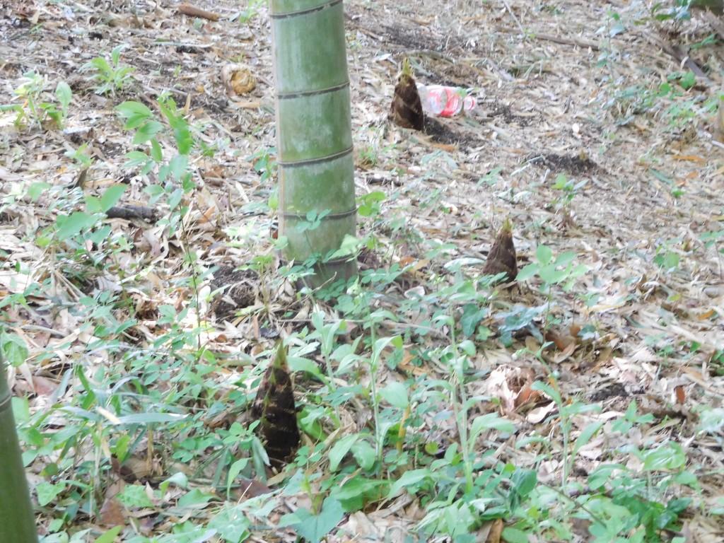 竹林では筍が顔を出しています