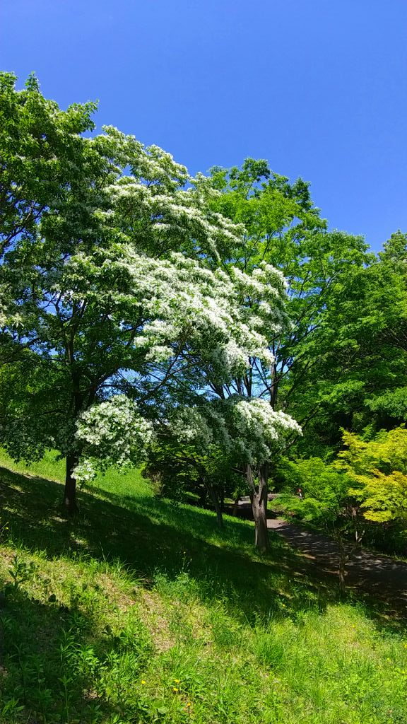 別名「ヒトツバタゴ」というモクセイ科の落葉高木です。
