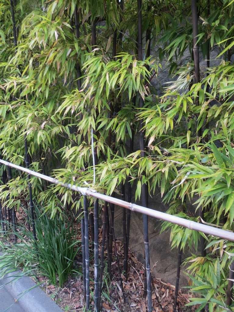 近くに珍しい黒竹が植えてありました