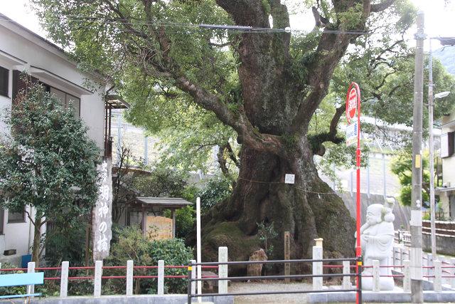 「史蹟明神の楠」樹齢800年以上 根回り15.6mこの木も大きいですね