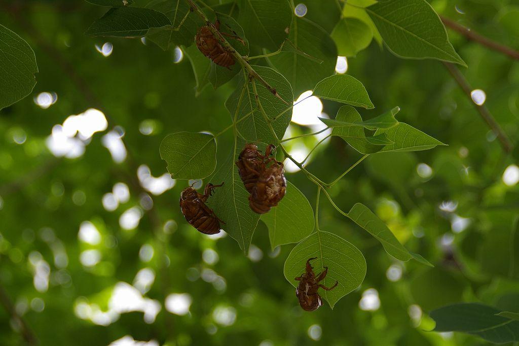 市ヶ尾町公園内の木々の葉・幹・枝には蝉の抜け殻が・・・
