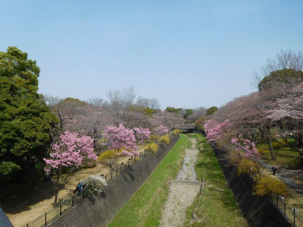 ふれあい橋 右側から見る桜