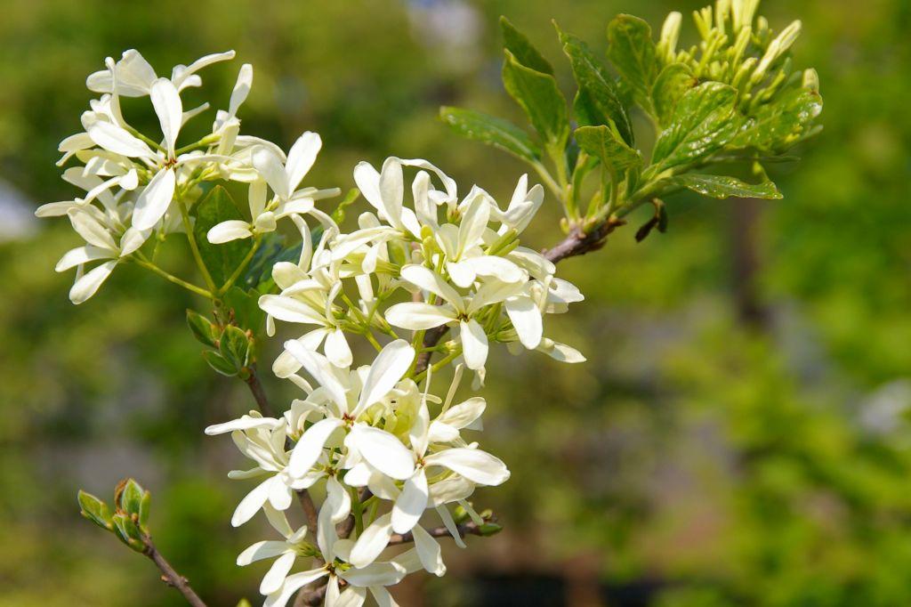 アップにするとこんな白い花です