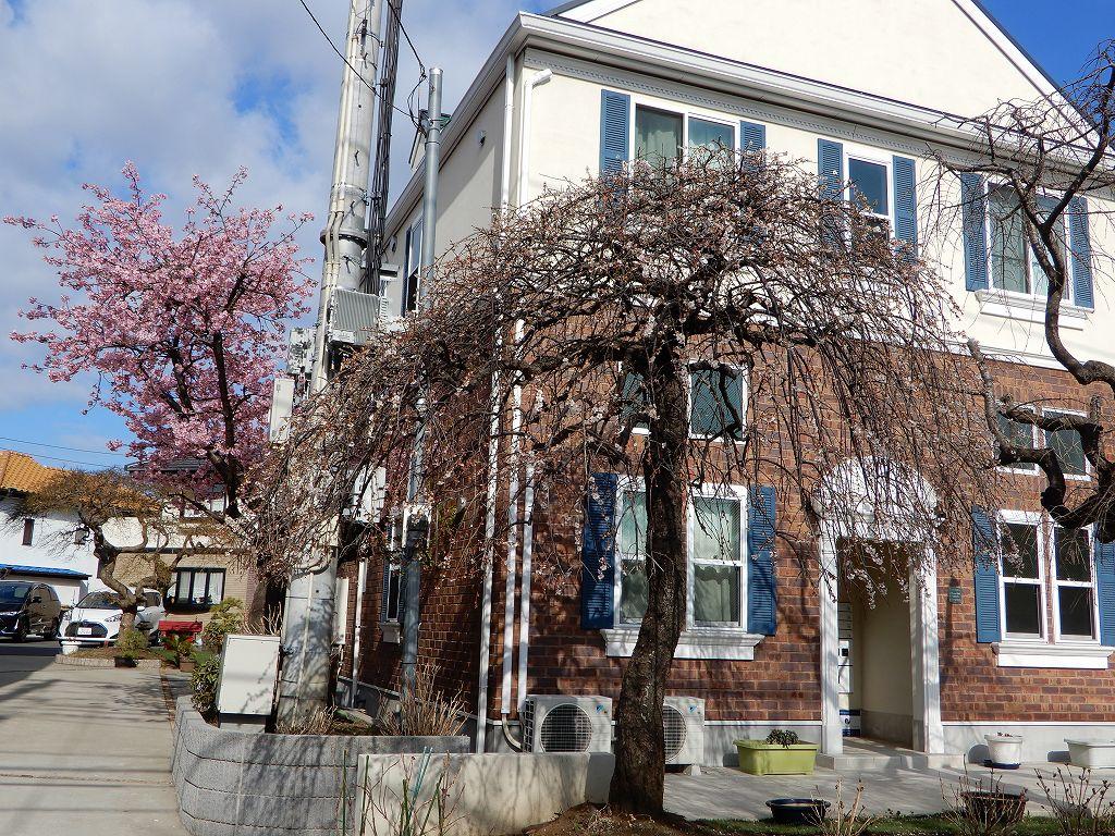 急坂を登り切った所に咲いている河津桜です