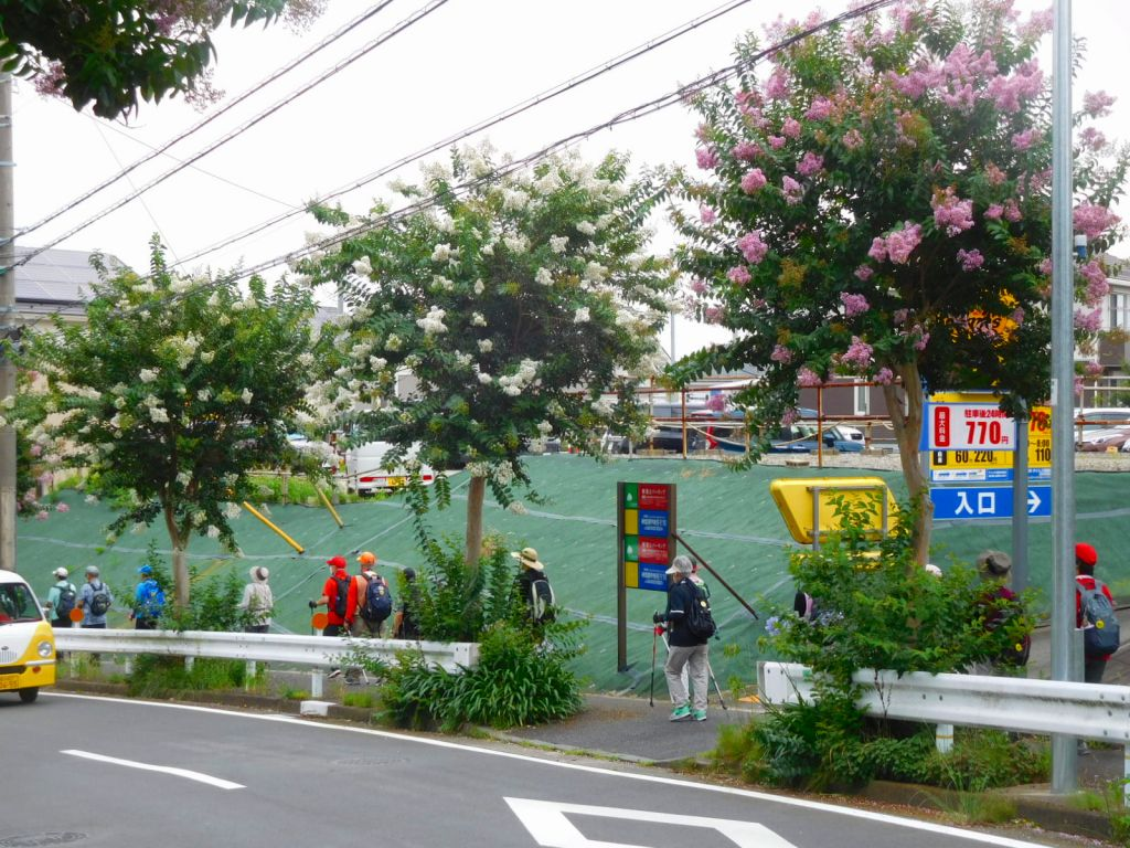 白・ピンクの百日紅の横を江田駅に向かっています