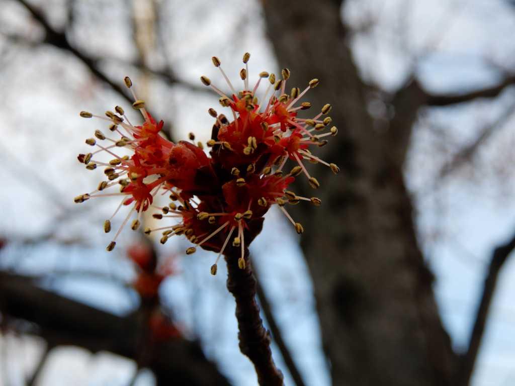 大場町の街路樹 ハナノキも満開ですが小さくて気づかない