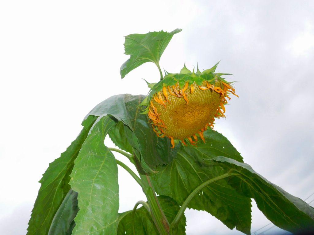 畑の端には大輪の向日葵が花の盛りを終えて元気がありません
