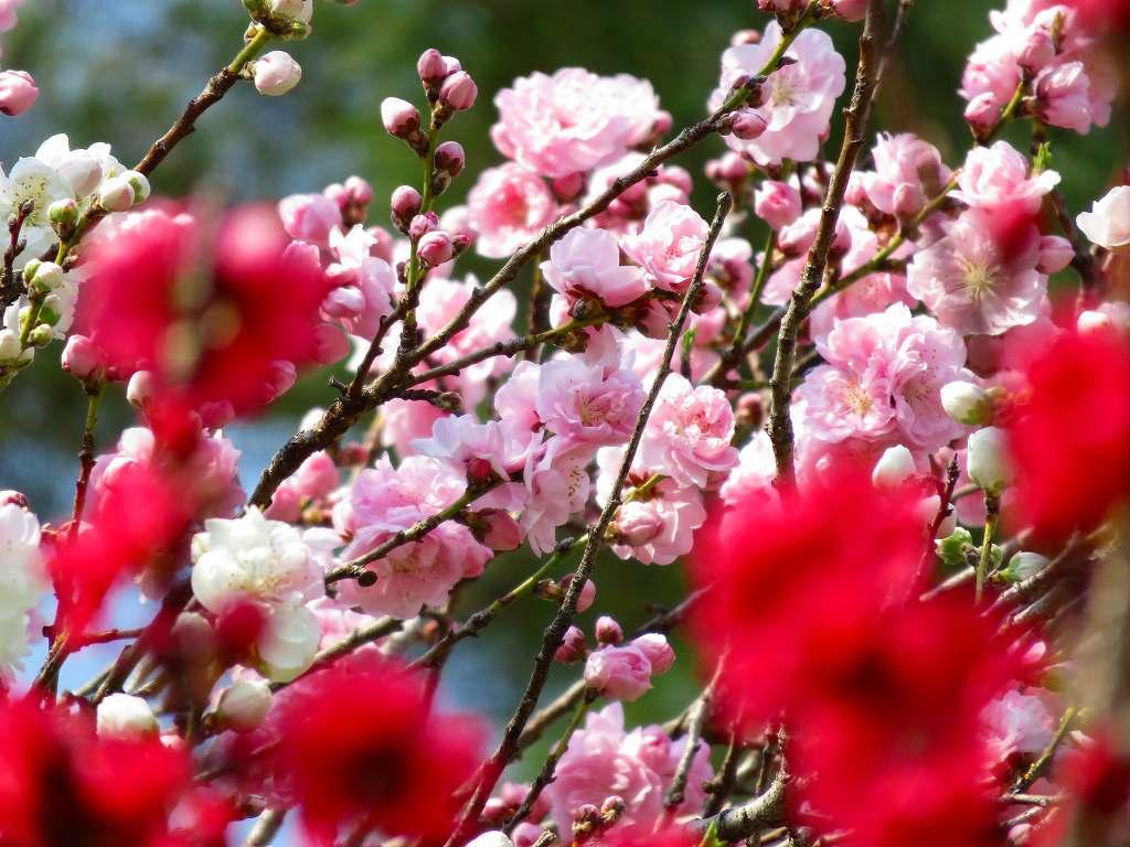 桃の花の饗宴
