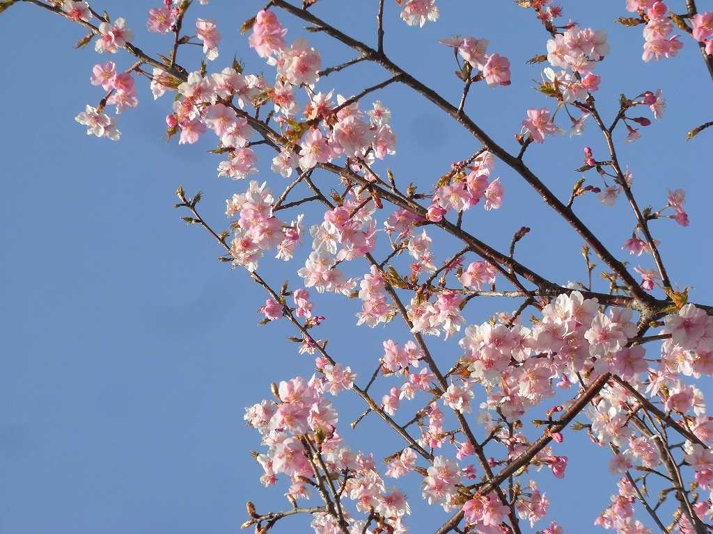 地蔵堂の桜が綺麗でした