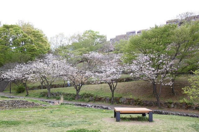 鶴蒔西公園の桜
