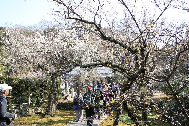 境内に梅を観賞