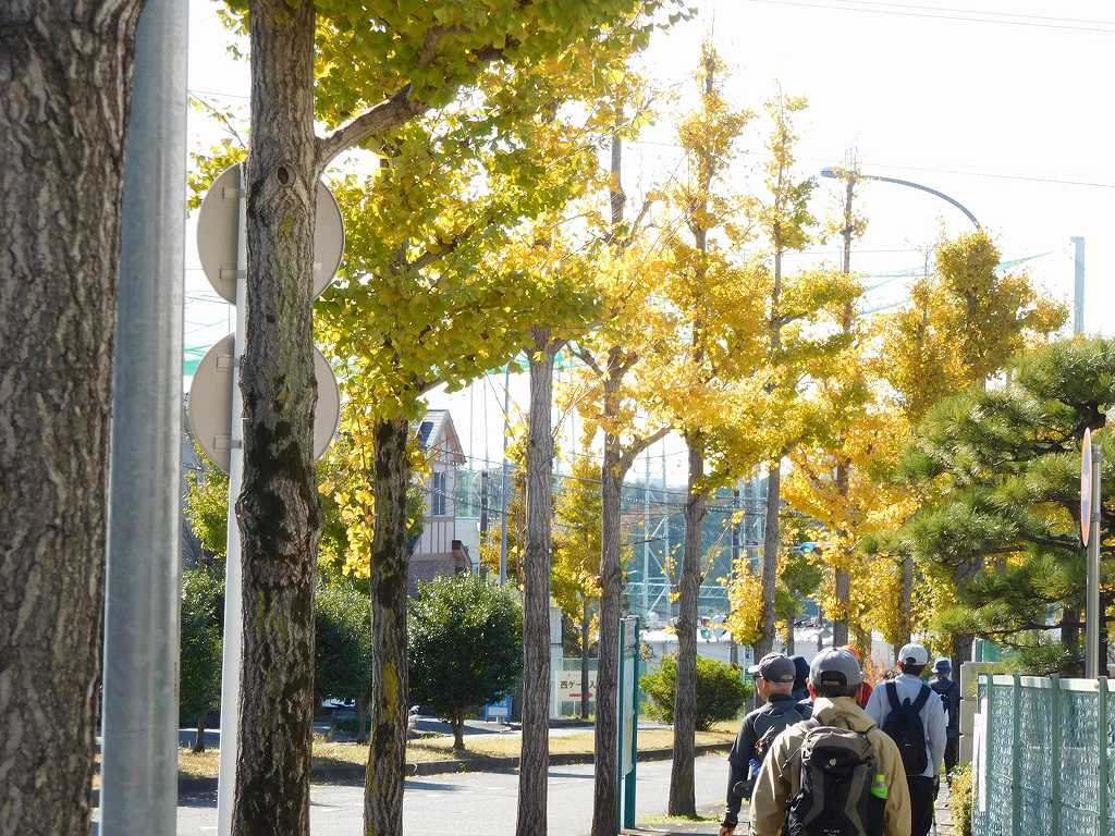 銀杏並木の黄葉を眺め落葉を踏みつつウォーキング