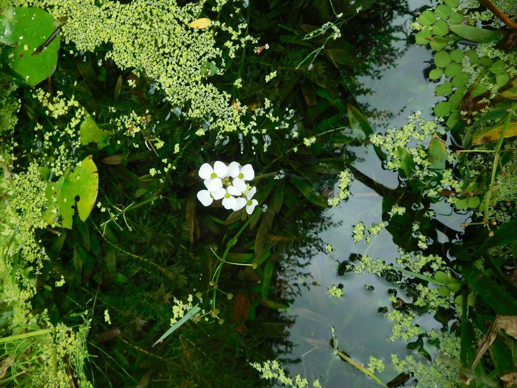 少し歩くと小さな池に白い花が咲いていました