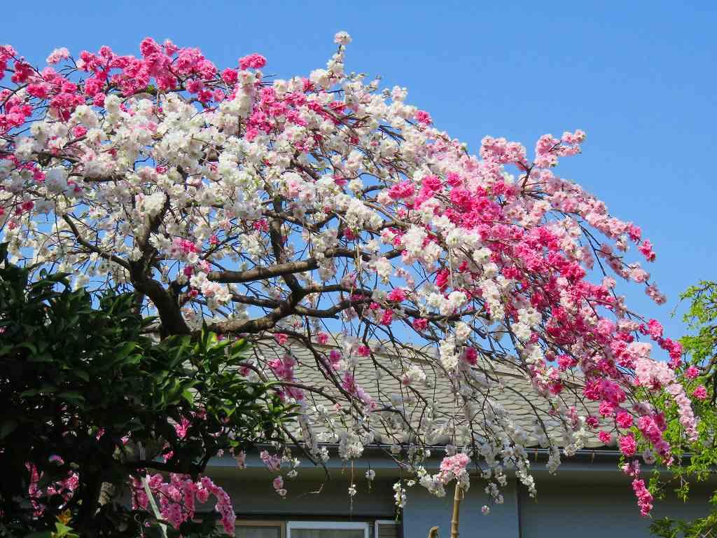 紅白のしだれ桜