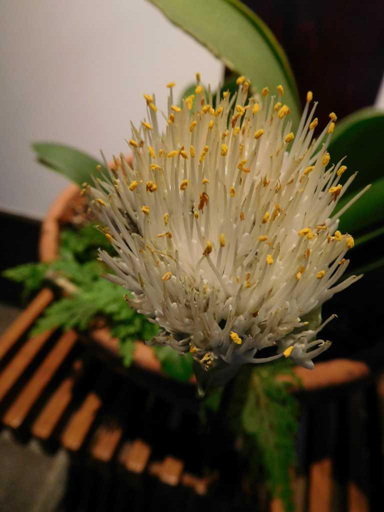 「酒蔵真澄」には珍しいマユハケオモトが咲いていました