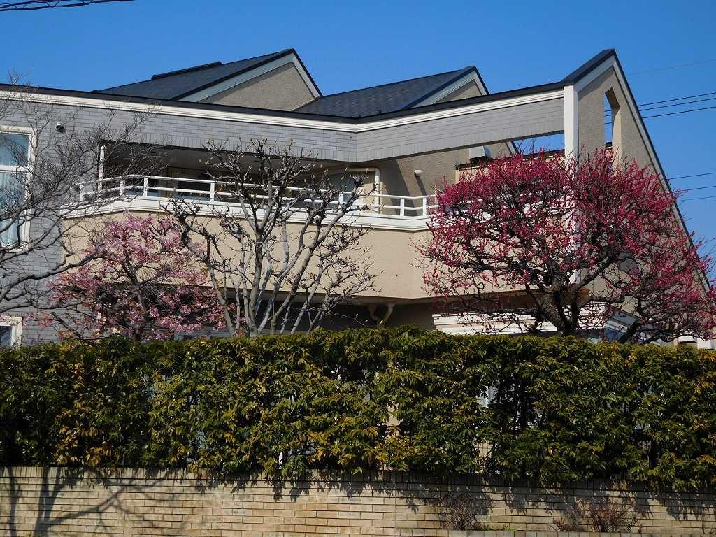 慶応大学付属小学校前の住宅で桜・梅花が綺麗に咲いています