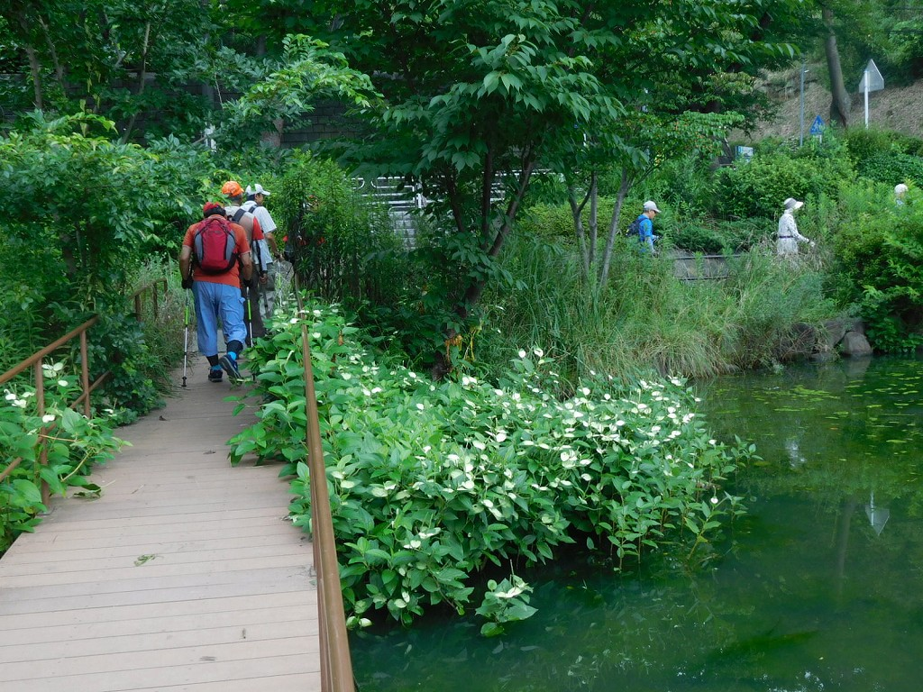 池には半夏生が満開です