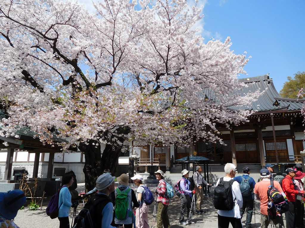 境内は桜が満開