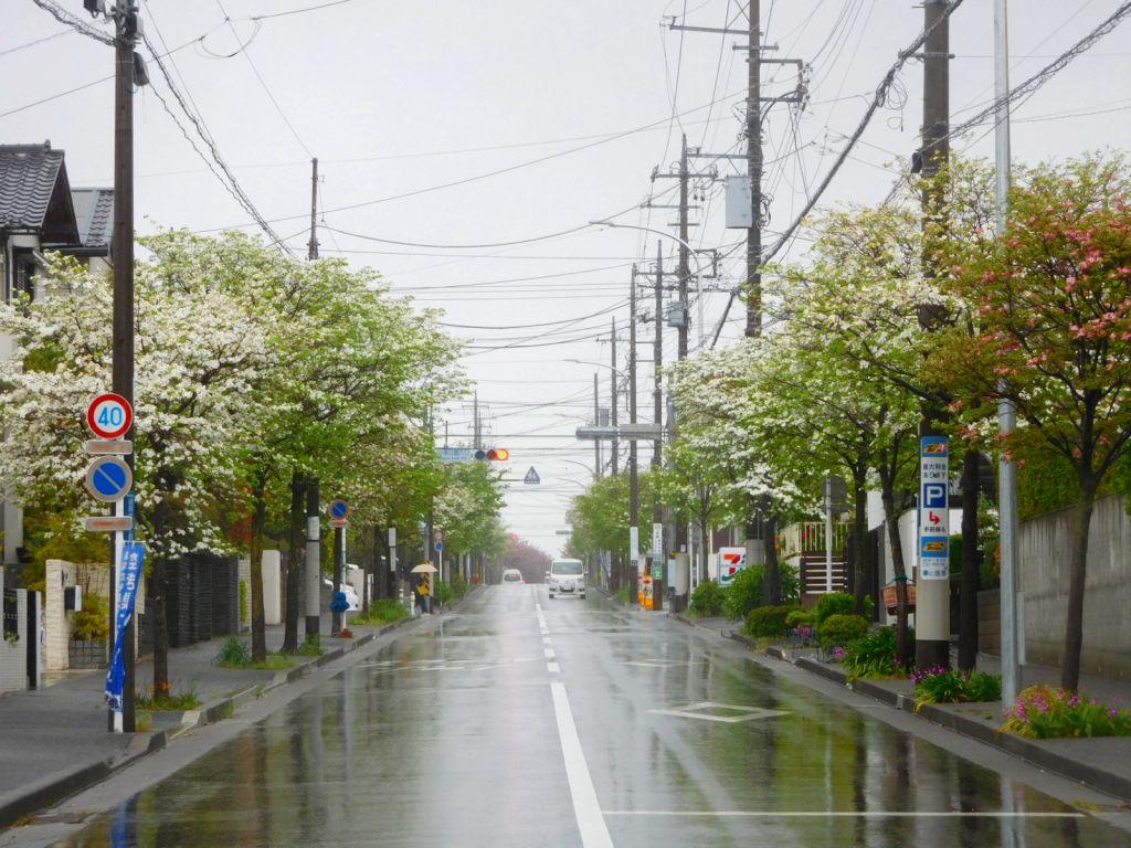 小黒公園信号通り両サイドの花水木